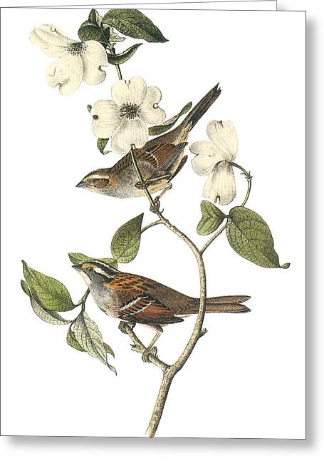 Sparrow Greeting Cards - White-throated Sparrow Greeting Card by John James Audubon