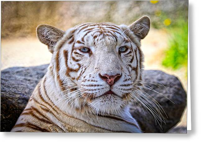 Growling Greeting Cards - White Tiger Close Up Greeting Card by Steve McKinzie