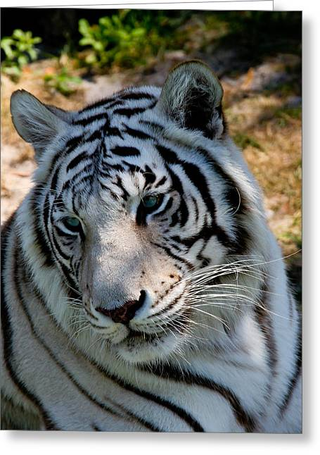 Forida Greeting Cards - White Tiger Closeup Greeting Card by Darlene Chissom