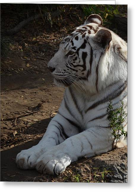 The Tiger Greeting Cards - White Tiger Greeting Card by Maggy Marsh