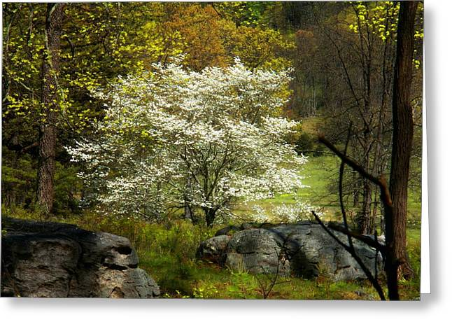 Allegheny Greeting Cards - White Tree on the Mountain Greeting Card by Joyce Kimble Smith