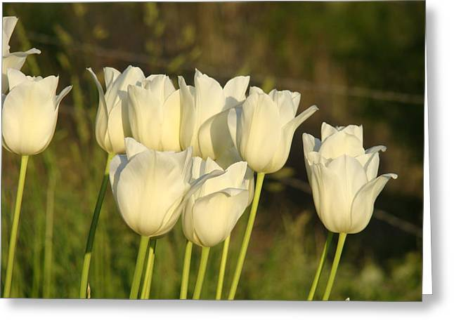 White Tulip Flowers Art Prints Spring Green Garden Greeting Card by Baslee Troutman