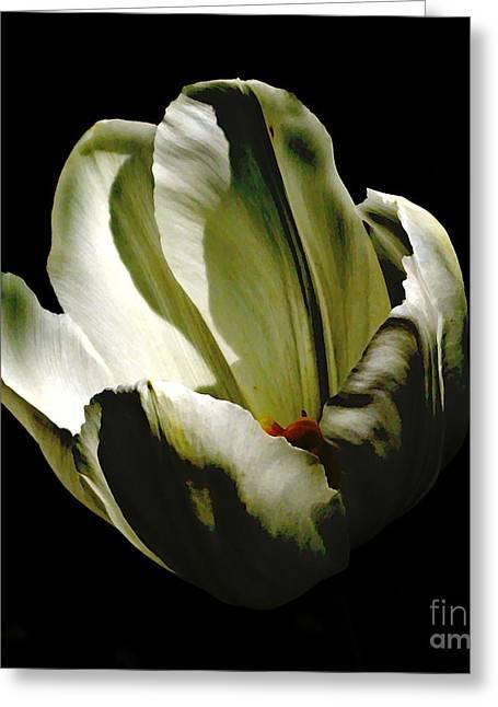 Sarah Loft Greeting Cards - White Tulip Greeting Card by Sarah Loft