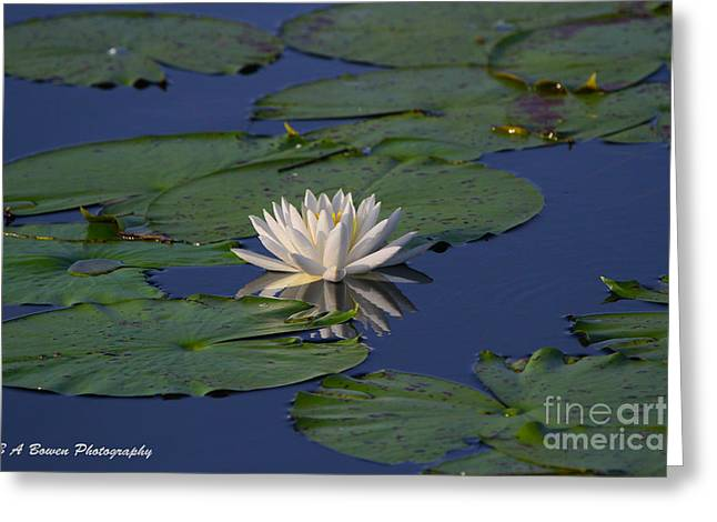 Pasco County Greeting Cards - White water lily Greeting Card by Barbara Bowen