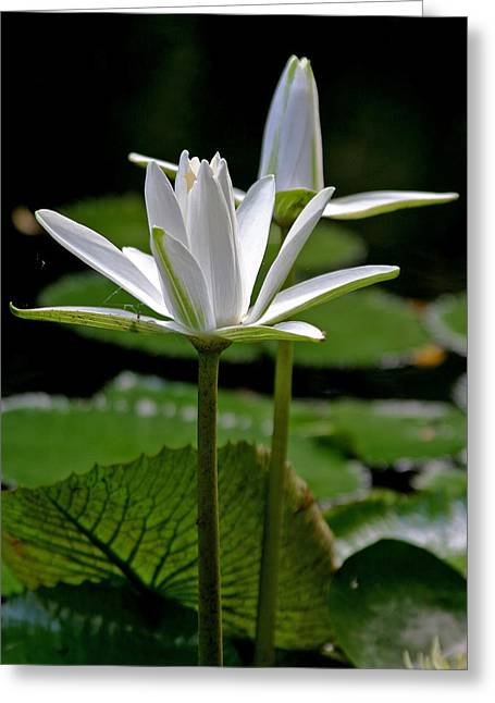 Nymphaea Plants Greeting Cards - White Water Lily Greeting Card by Lisa  Spencer