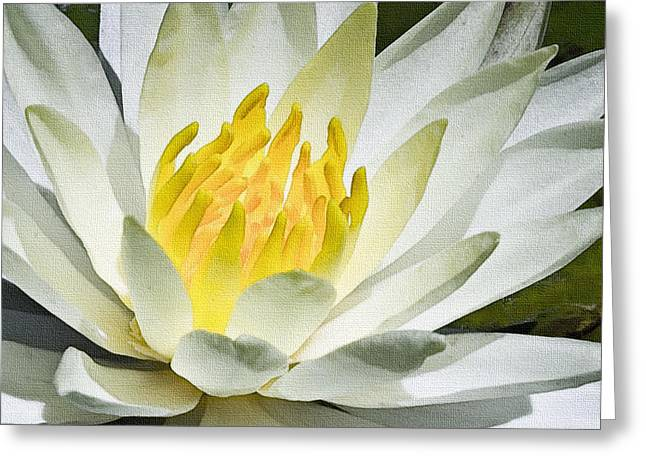 White Waterlily Greeting Cards - White Water Lily Greeting Card by Marion McCristall