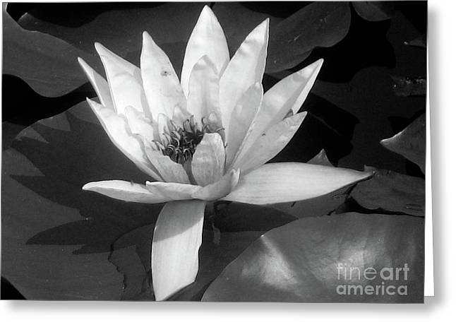 Black And White Photos Pyrography Greeting Cards - White Water Lily Greeting Card by Mira Dimitrijevic