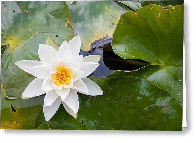 Waterlily Stamen Greeting Cards - White Water Lily Greeting Card by Semmick Photo