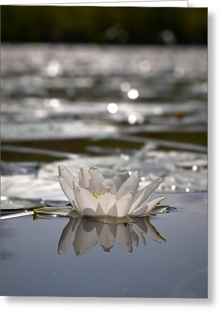 Nymphaea Alba Greeting Cards - White waterlily 3 Greeting Card by Jouko Lehto