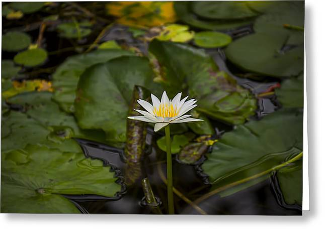 White Waterlily Greeting Cards - White waterlily  Greeting Card by Garry Gay