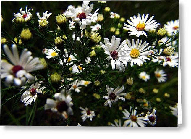 Asters Greeting Cards - White Wild Aster Greeting Card by Scott Hovind
