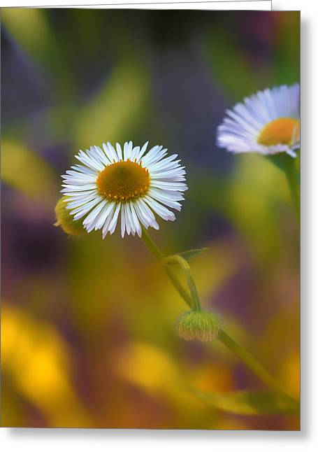 Aster Greeting Cards - White Wildflower on Pastels Greeting Card by Bill Tiepelman
