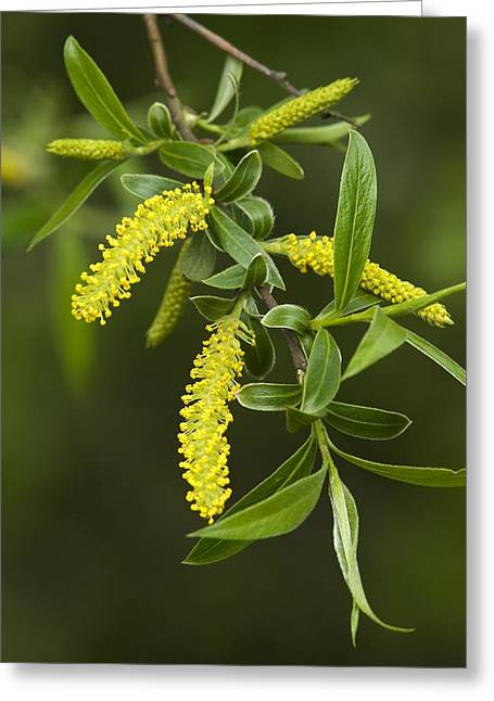 White Willow Greeting Cards - White Willow (salix Alba) Greeting Card by Adrian Bicker