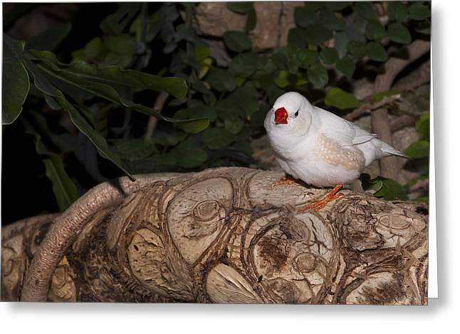 Zebra Finch Greeting Cards - White Zebra Finch Greeting Card by Robin Webster