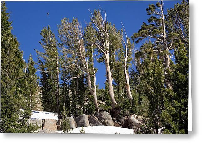 Whitebark Greeting Cards - Whitebark Pine (pinus Albicaulis) Greeting Card by Bob Gibbons