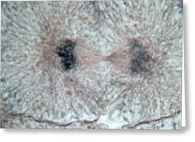 Embryo Greeting Cards - Whitefish Cell In Telophase, Lm Greeting Card by Science Source