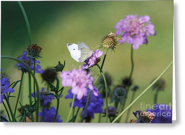Butterfly Blue Pincushion Flower Greeting Cards - Whites butterfly Greeting Card by David Murray