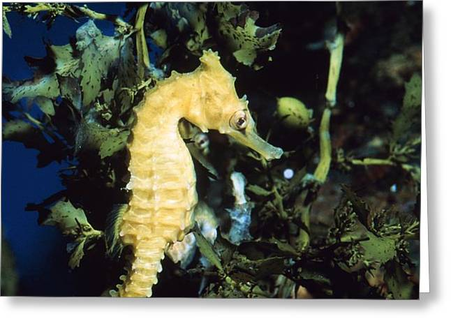 White's Sea Horse Greeting Card by Georgette Douwma