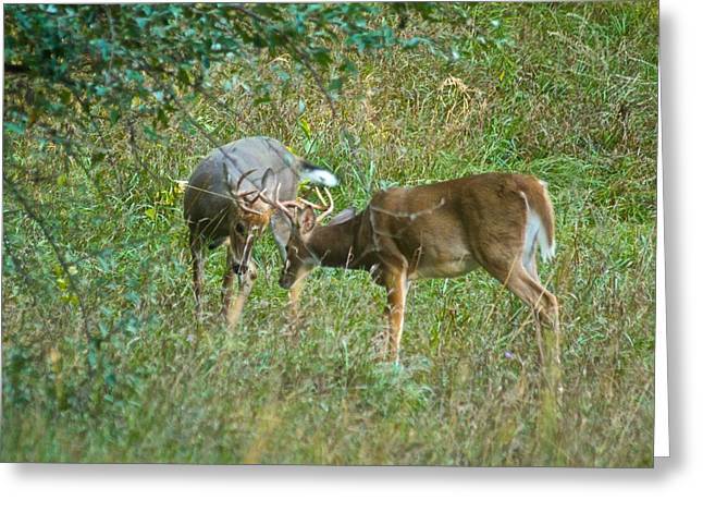 Sparring Greeting Cards - Whitetail bucks in battle 9677 Greeting Card by Michael Peychich