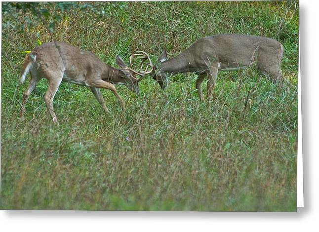 Sparring Greeting Cards - Whitetail Fighting_9668 Greeting Card by Michael Peychich