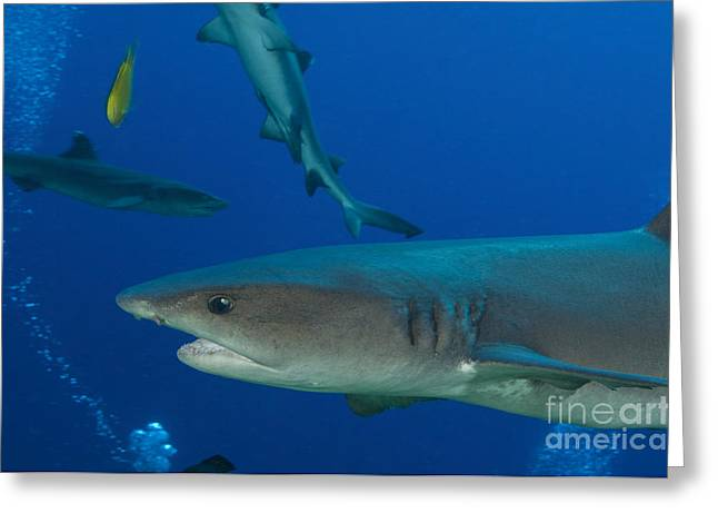 New Britain Greeting Cards - Whitetip Reef Shark, Papua New Guinea Greeting Card by Steve Jones