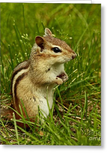 Shelley Myke Greeting Cards - Who Goes There- Chipmunk Watch Greeting Card by Inspired Nature Photography By Shelley Myke