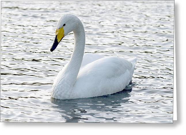 Cygnus Greeting Cards - Whooper Swan Greeting Card by Denise Swanson