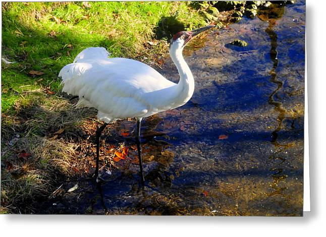 Whoops Greeting Cards - Whooping Crane Greeting Card by David Lee Thompson