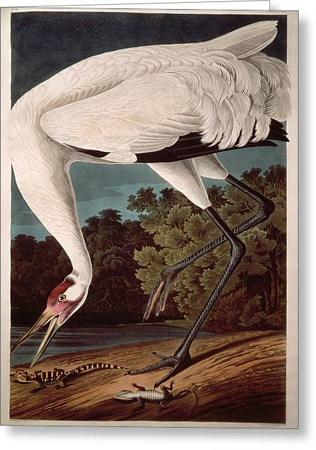 1851 Greeting Cards - Whooping Crane Greeting Card by John James Audubon