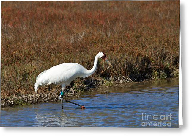 Whoops Greeting Cards - Whooping Crane Greeting Card by Louise Heusinkveld