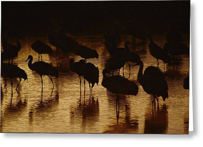 Bonding Greeting Cards - Whooping Cranes Silhouetted Greeting Card by Joel Sartore