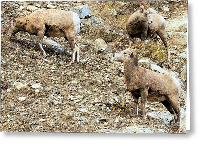 Sheep On Rocks Greeting Cards - Whos On First? Greeting Card by Adam Jewell