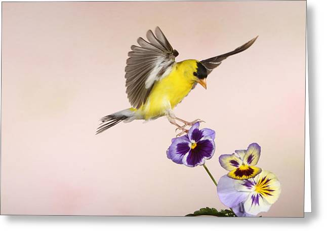 Canary In Flight Greeting Cards - Whos the Pansy Now Greeting Card by Gerry Sibell