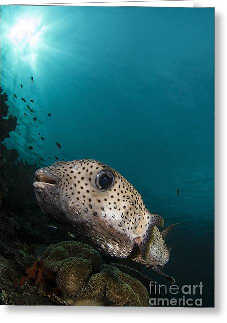 Balloonfish Greeting Cards - Wide-angle Image Of Pufferfish, Raja Greeting Card by Todd Winner