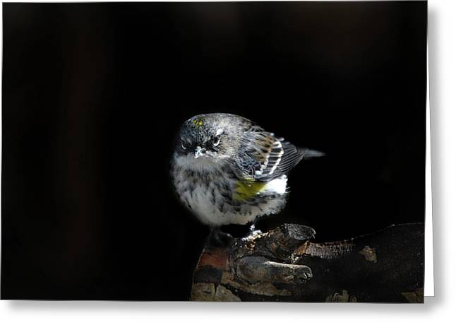 Photos Of Birds Greeting Cards - Wigged-out Warbler Greeting Card by Skip Willits