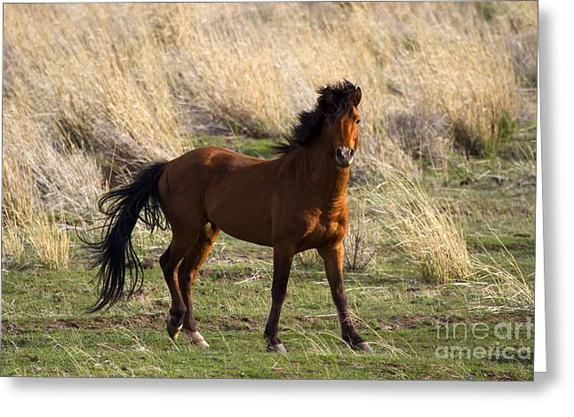 Equus Ferus Greeting Cards - Wild and Proud Greeting Card by Mike  Dawson