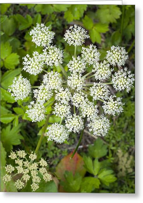 Angelica Greeting Cards - Wild Angelica (angelica Sylvestris) Greeting Card by Duncan Shaw