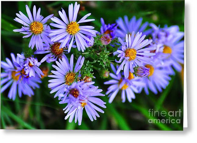 The Nature Center Greeting Cards - Wild Aster Greeting Card by Diana Nigon