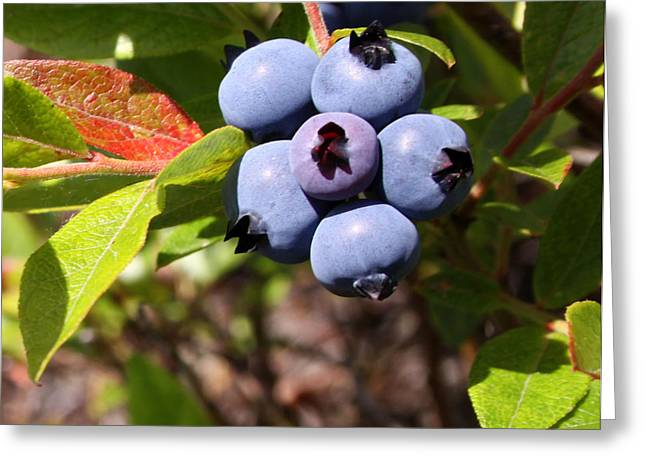 Wild Orchards Greeting Cards - Wild Blueberries Greeting Card by Michael David James