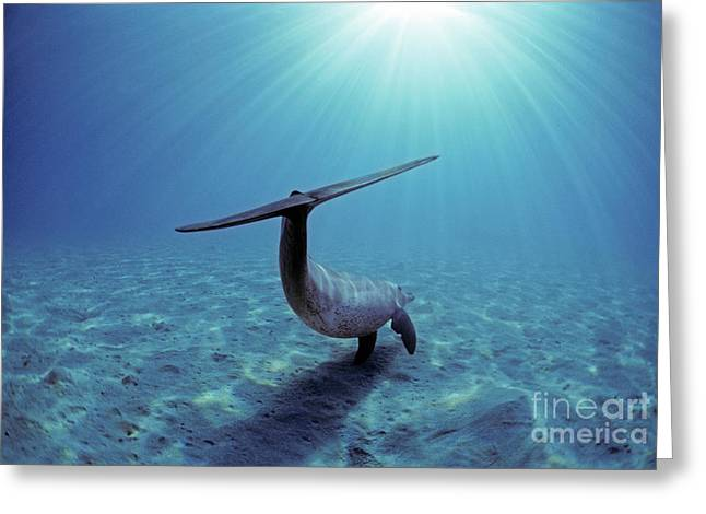 Underwater Photos Greeting Cards - Wild Bottlenose Dolphin Greeting Card by Jeff Rotman and Photo Researchers