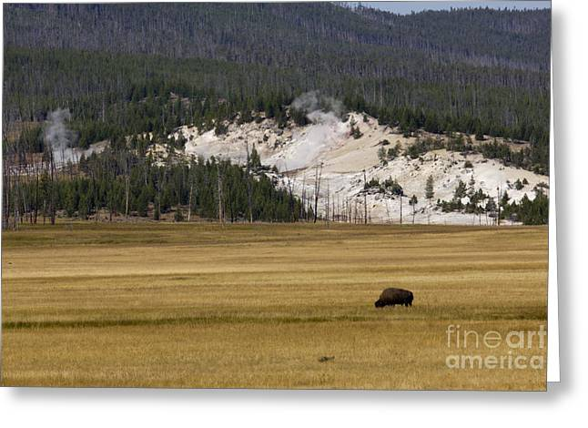 Yellowstone National Park Greeting Cards - Wild Buffalo Yellowstone National Park Greeting Card by Dustin K Ryan