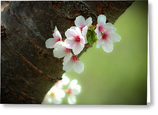 Wild Cherry Blossom Greeting Card by Emanuel Tanjala