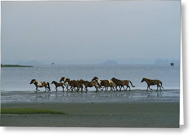 Animals In Action Greeting Cards - Wild Chincoteague Ponies Run Greeting Card by Medford Taylor