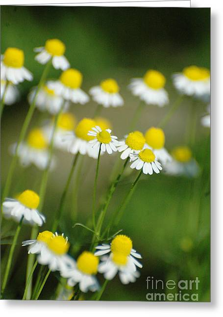 Daisies Mixed Media Greeting Cards - Wild Daisies Greeting Card by AdSpice Studios