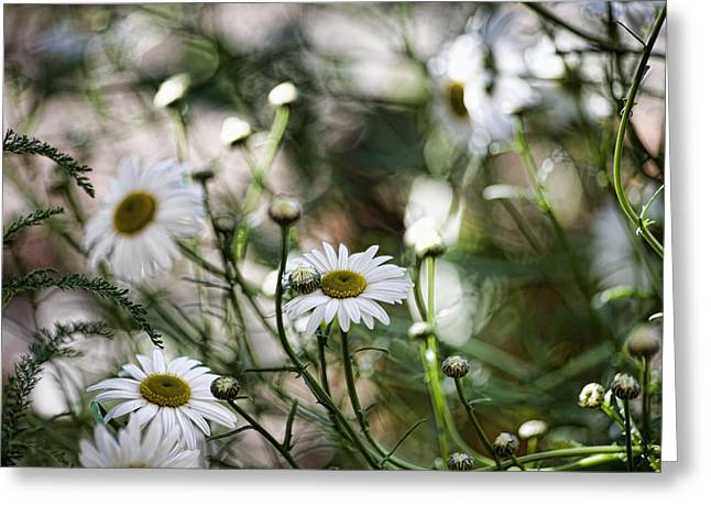 Daisy Bud Greeting Cards - Wild Daisies Greeting Card by Bonnie Bruno