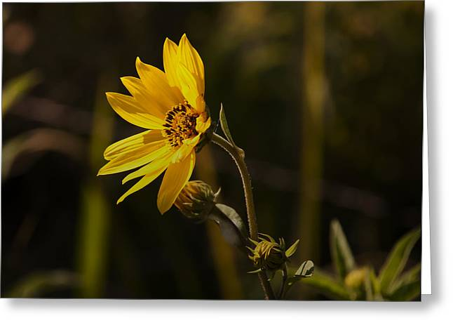 Close-up Greeting Cards - Wild Flower Greeting Card by Kelly Rader