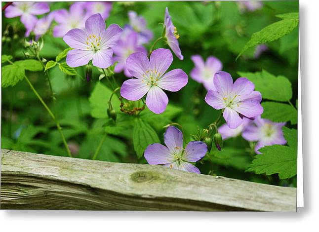 Split Rail Fence Greeting Cards - Wild Geraniums Greeting Card by Michael Peychich