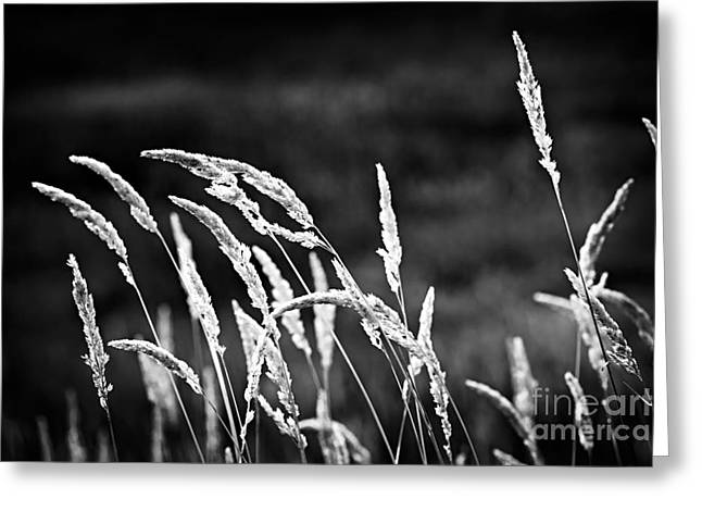 Uncut Greeting Cards - Wild grass in black and white Greeting Card by Elena Elisseeva