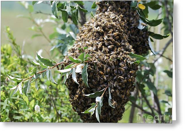 High Virginia Images Greeting Cards - Wild Honey Bees Greeting Card by Randy Bodkins