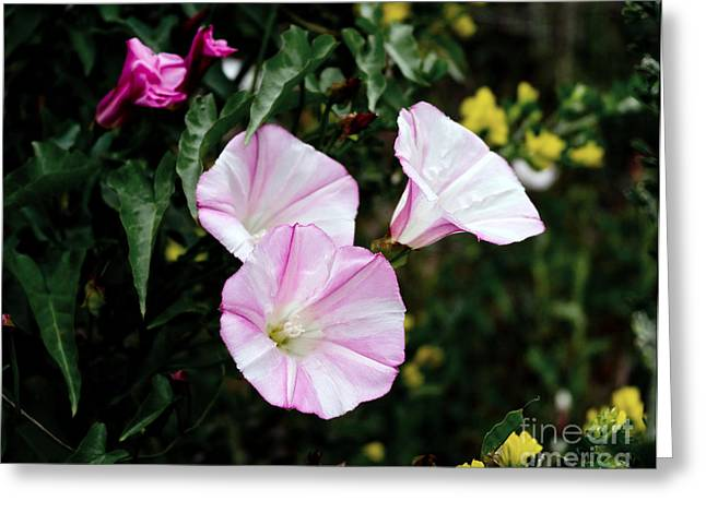Morning Glories Greeting Cards - Wild Morning Glories Greeting Card by Laura Iverson